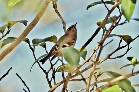 全長約10cm、小型の鳥 キクイタダキ