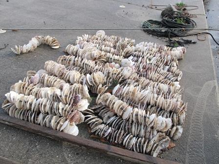 稚貝をイタヤ貝に付着させる